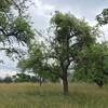 Mistel, eine massive Bedrohung des Baumbestand auf den lokalen Streuobstwiesen