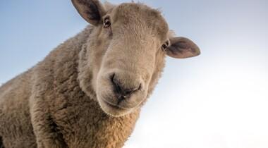 Schafe & Lämmer aus Privathand gesucht