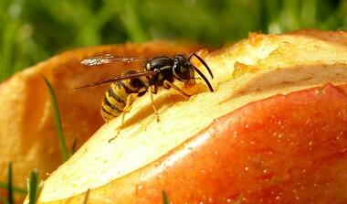 Hochsaison für Wespen - nicht nur lästig, auch gefährlich!